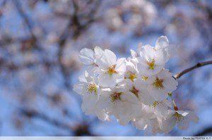 静かな桜。