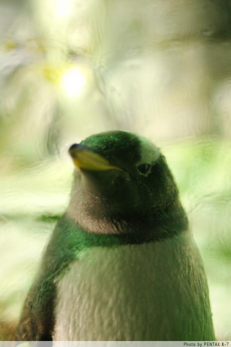 海遊館のペンギン。