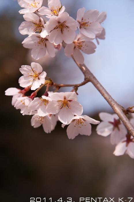 京都の桜。