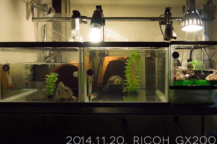 ミシシッピニオイガメたちの飼育環境
