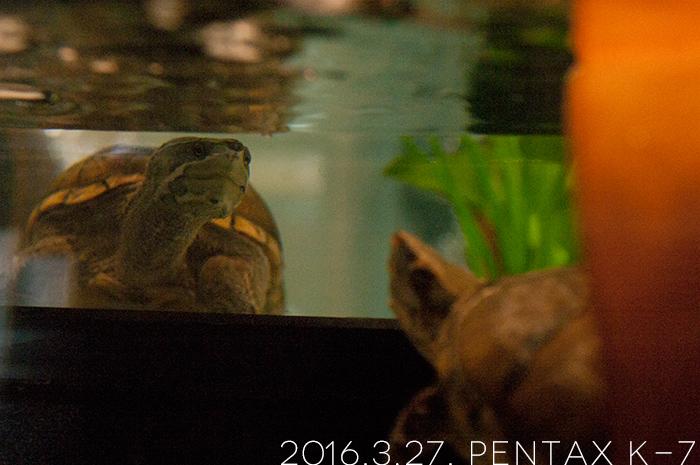 ミシシッピニオイガメの「よもぎ」と「あずき」