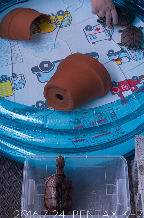 我が家のミシシッピニオイガメ