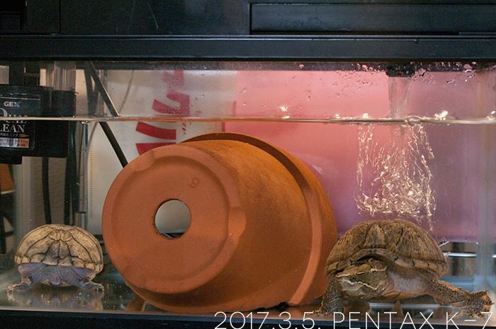 ミシシッピニオイガメの「おはぎ」と「あずき」