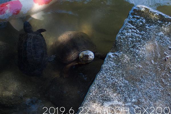 栗林公園の亀