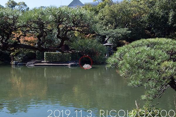 神戸・相楽園の亀