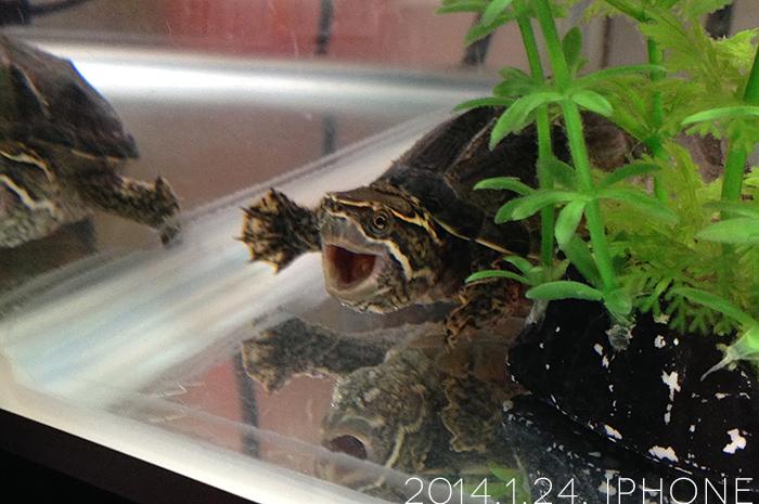 ミシシッピニオイガメの「おはぎ」