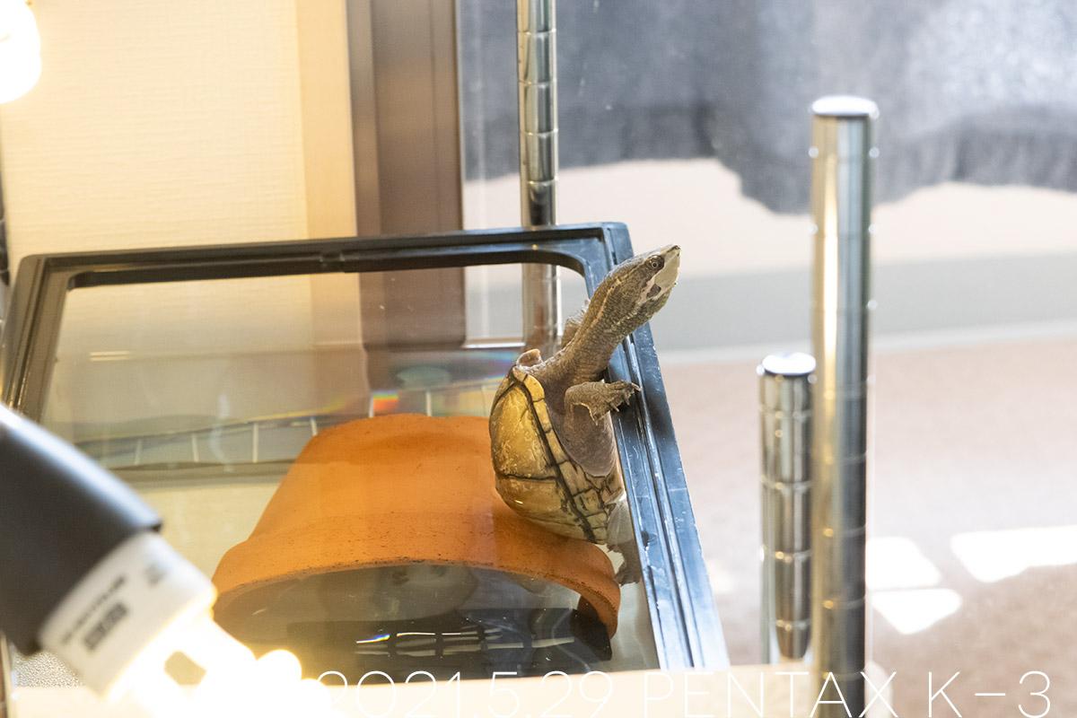 ミシシッピニオイガメの「よもぎ」